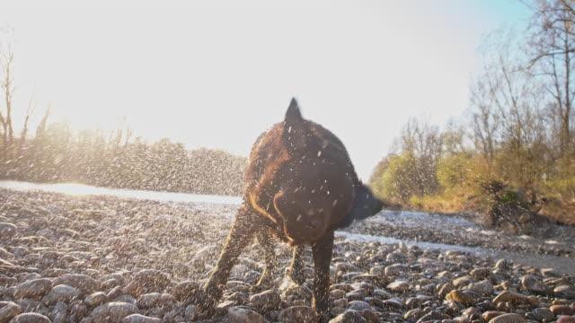 SLO MO Labrador shaking off water video