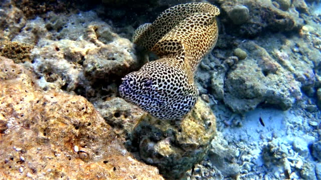 Laced moray swims out of a coral cave on Maldives video