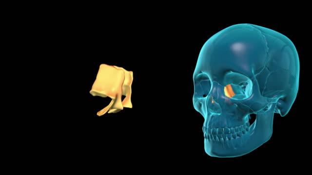Lacrimal Bone video