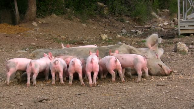 Lactation of piglets video