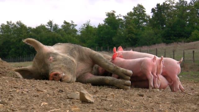 vídeos y material grabado en eventos de stock de lactancia de cochinillos mientras vaca es de inserción - animales de granja