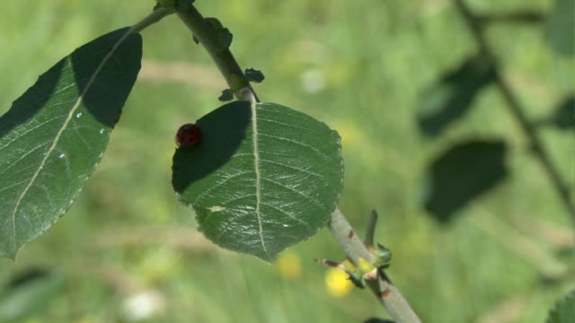 lady beetle scrabbles on plant video