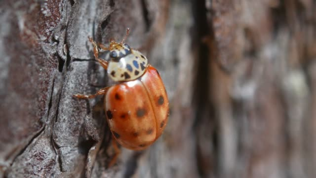 lady bug creeps along the bark of a tree, close-up - жук стоковые видео и кадры b-roll