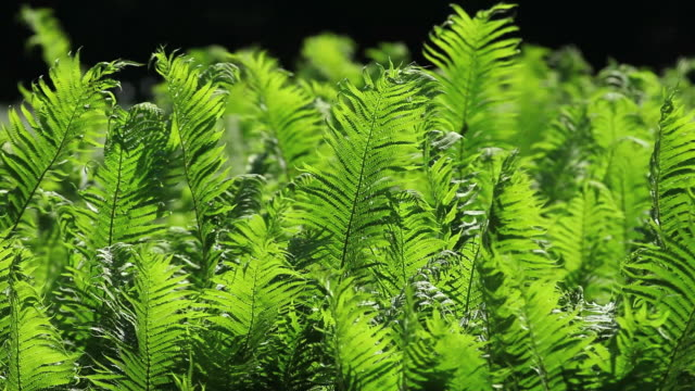 Lady Fern Swaying in the Wind video