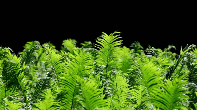 Lady Fern Swaying In The Wind (Loopable) video