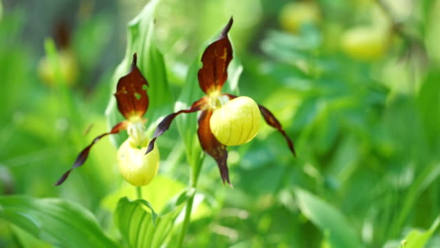 Lady Slipper flower bloom, light breeze, and the sun. Yellow with red petals blooming flower in natural environment. Lady's Slipper Orchid, Cypripedium calceolus blossom.
