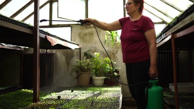 vidéos et rushes de plantes de pulvérisation de dame dans la serre de fleur - herbicide