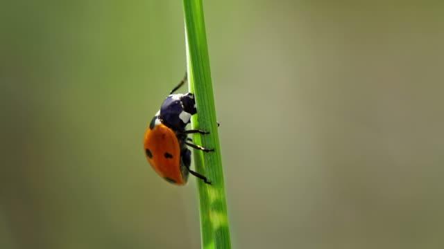 SLOW MOTION: Ladybeetle