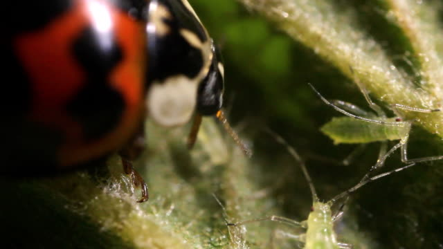 Ladybird beetle eating an aphid video