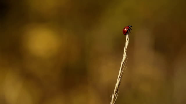 Ladybird Climping On The Grass video