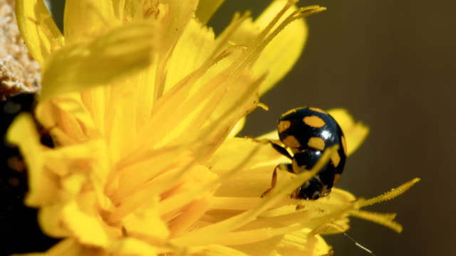 ladybird coccinula on a yellow flower. - жук стоковые видео и кадры b-roll