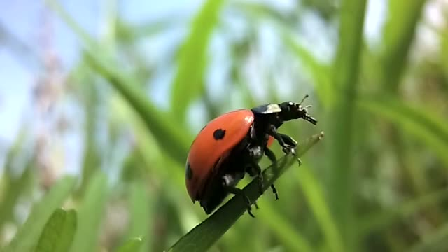 Ladybird takeoff in slow motion Ladybird spread its wings before takeoff with a blade of grass in slow motion blade of grass stock videos & royalty-free footage