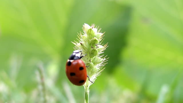 ladybird takes off from grass video