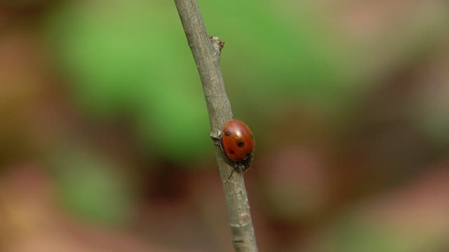 Ladybirds loop HD