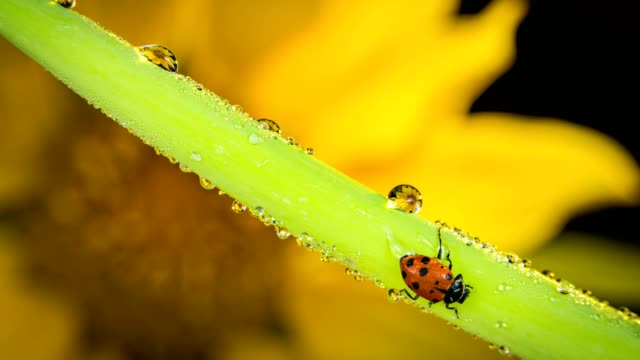Ladybug and dew drops on rising leaf video