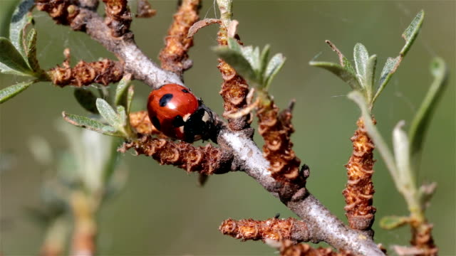 Ladybug crawling along the tree branch. video