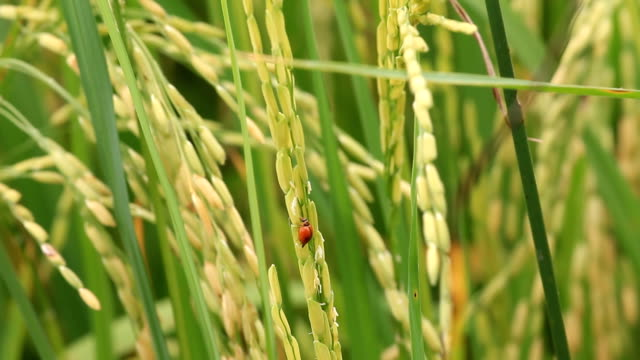 Ladybug eating green rice video