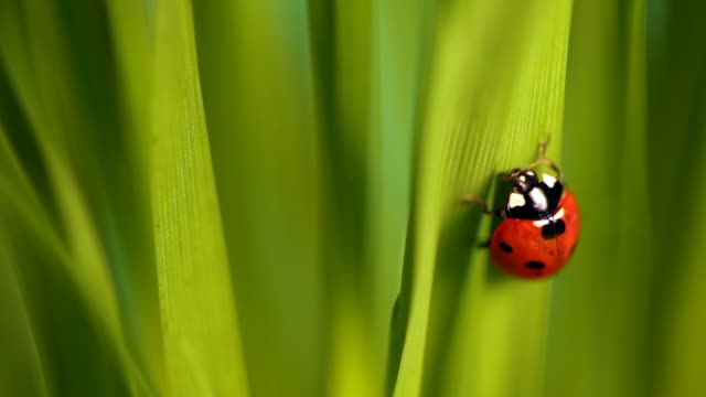 Ladybug in green grass video