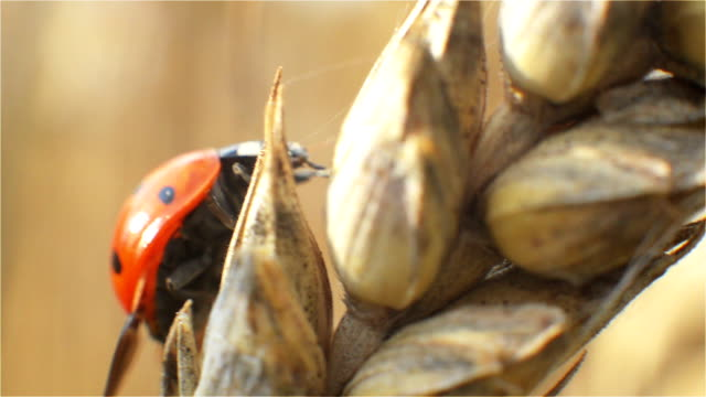 Ladybug, Insect, Wings, Beetle, Freckles, in the Rye, Flight video