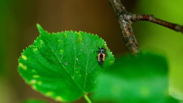 Ladybug larva. Ladybird larva on the leaf of linden larva stock videos & royalty-free footage