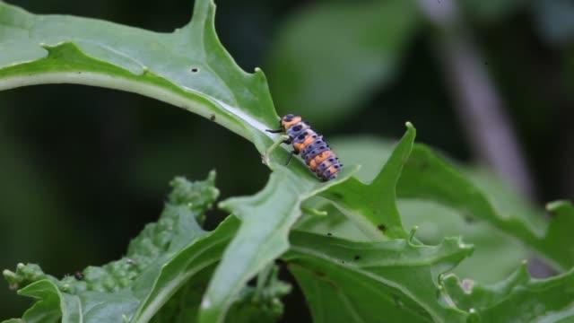 Ladybug Larva This is a video of a Ladybug larva up close. larva stock videos & royalty-free footage