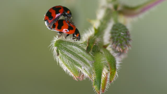 ladybug mating on the plant shoot video