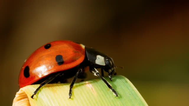 Ladybug on a cane. Ladybug sits on a sheet of reed and looks for a way to go down. Macro shot. animal antenna stock videos & royalty-free footage
