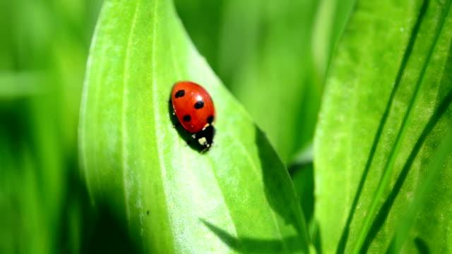 Ladybug on green grass video