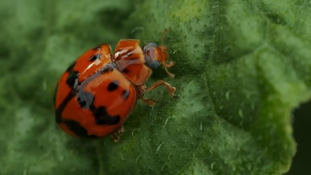marienkäfer auf green leaf - käfer stock-videos und b-roll-filmmaterial