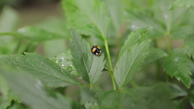 Ladybug on Green Leaves Black ladybug with yellow spots parasitic stock videos & royalty-free footage