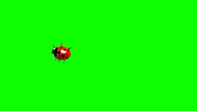 Ladybug on green screen CG animated, seamless loop video