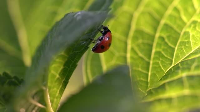 marienkäfer auf blatt - käfer stock-videos und b-roll-filmmaterial