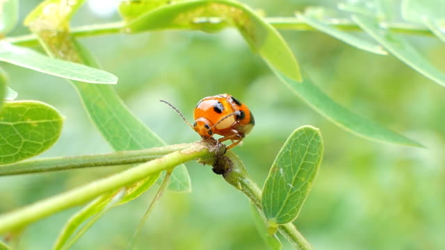Ladybug on leaves in tropical rain forest. Ladybug (Micraspis discolor) is natural enemies of insect pest on leaves in tropical rain forest. physiology stock videos & royalty-free footage