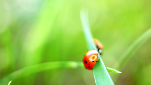 Ladybug on the grass, macro view video