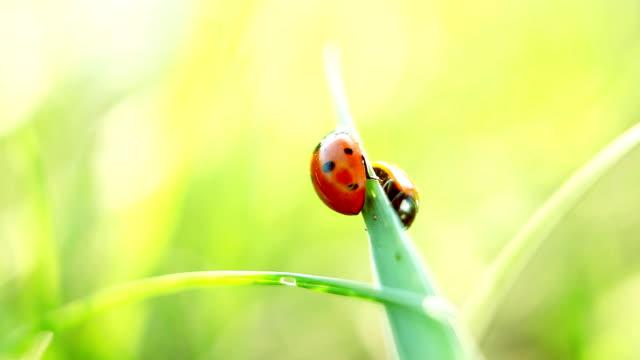 Ladybug on the grass, macro view video