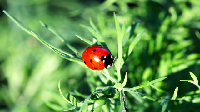 Ladybug Perched On Grass. Ladybug sitting on a plant. video