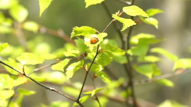 Ladybug sitting on a fresh birch leaves video
