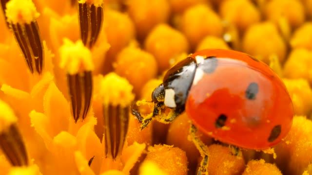 Ladybug Sitting on Yellow Sunflower