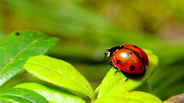 ladybug takes off from the leaf video