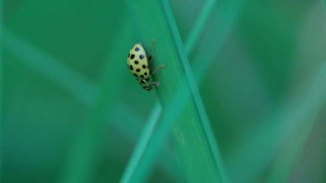 Ladybug travelling along blades of grass Fauna found in the Black Forest of Germany blade of grass stock videos & royalty-free footage