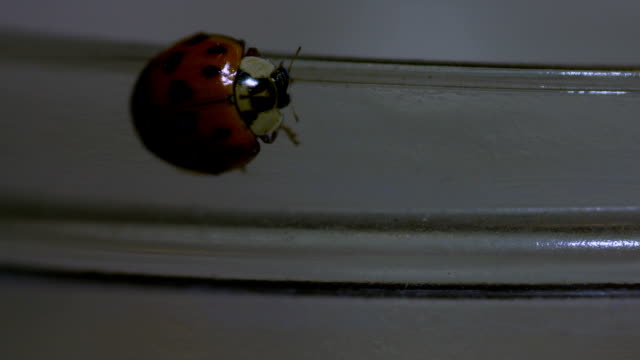 Ladybug Walking On A Jar Macro Lens Closeup video