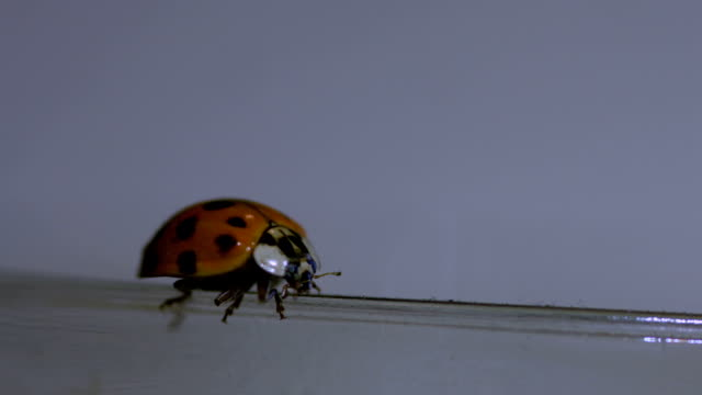 Ladybug Walking On A Jar Macro Lens Closeup video