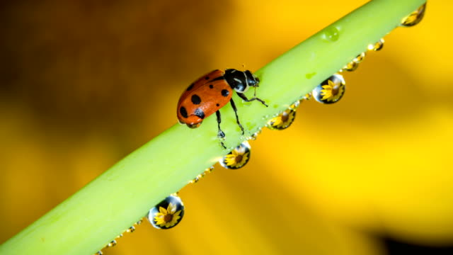 Ladybug walks around dew drops with refractions of sunflower time lapse video video