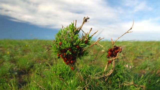 ladybugs crawl along the green branch in the field. sunny spring day video