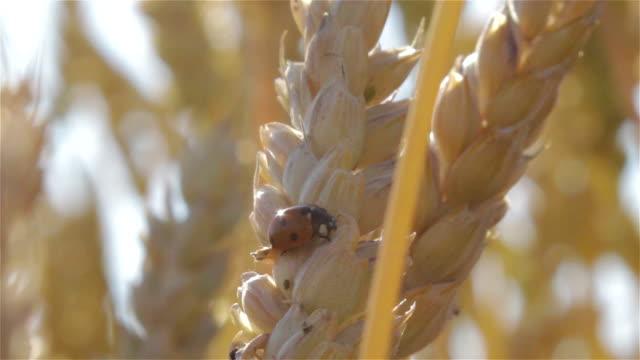 ladybugs auf ohr - käfer stock-videos und b-roll-filmmaterial