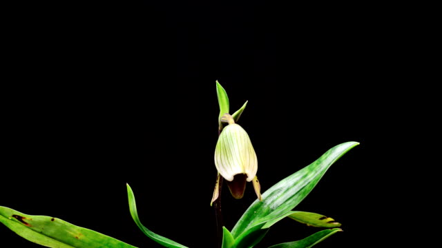 Lady's Slipper orchid opening, Timelapse video