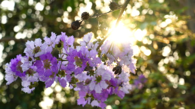 Lagerstroemia speciosa or Lagerstroemia macrocarpa Flowers swaying in the wind Lagerstroemia speciosa or Lagerstroemia macrocarpa Flowers swaying in the wind in front of the evening sun. botany stock videos & royalty-free footage