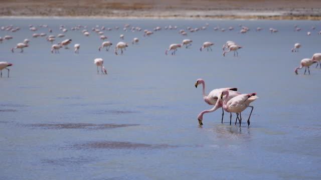 Laguna Colorado with flamingos Flamingos are looking for food in Atacama dessert wasser videos stock videos & royalty-free footage