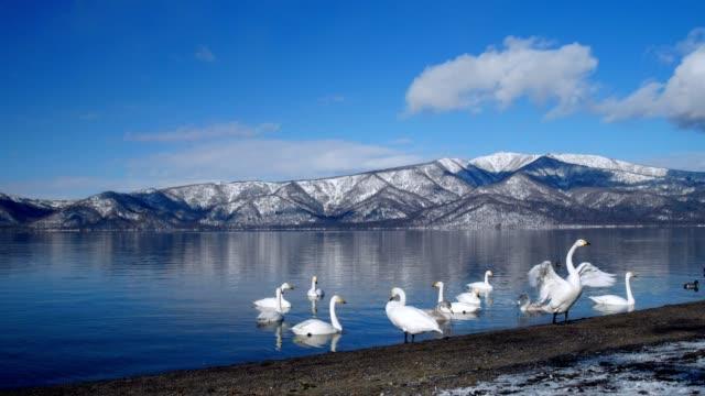lake kussharo, hokkaido, japan. - schwan stock-videos und b-roll-filmmaterial