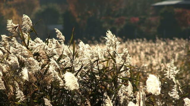 湖畔の草原で順子湖、日本の山梨県 - 秋点の映像素材/bロール